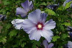 250px-Hibiscus_bleu_2
