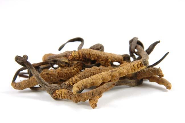 Cordyceps-sinensis