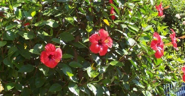 Hibiscus Macranthus