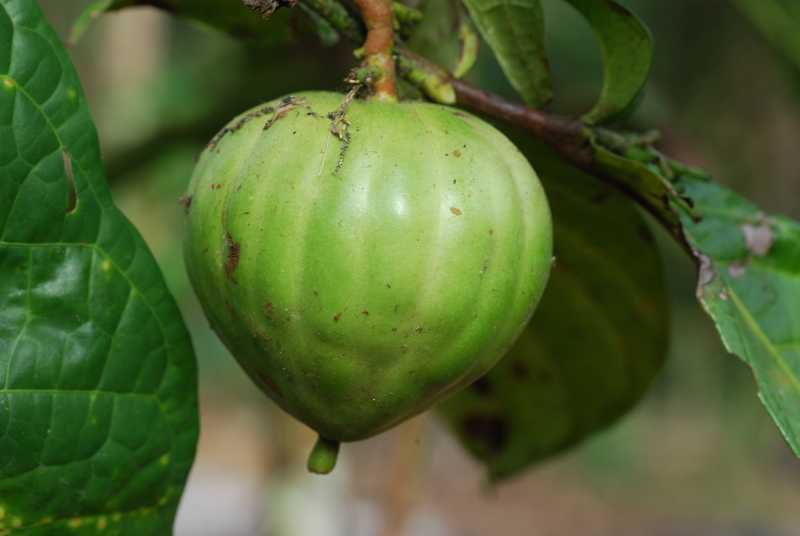 massularia_acuminata,_cameroon,_banyang_mbo,_1_2550_1eeb47