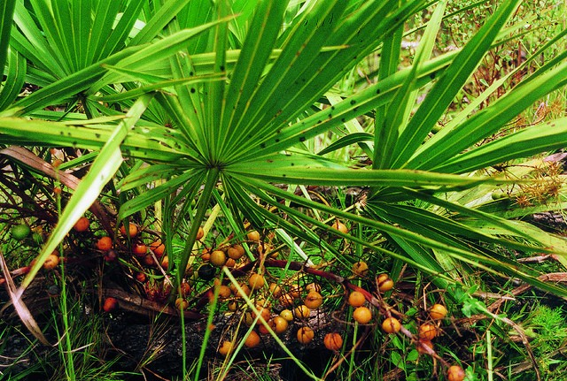 saw-palmetto-berry-serenoa-repens