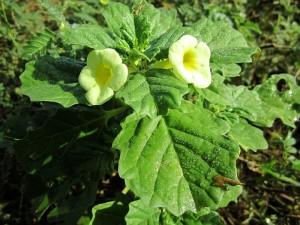 Pedalium-murex-plant