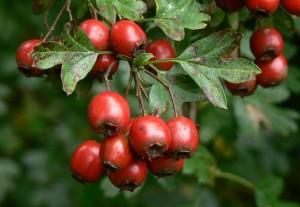 Hawthorn-berries-Postern