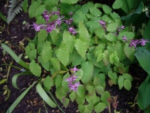 epimedium-grandiflorum-lilafee-plant-and-flowers-400x300