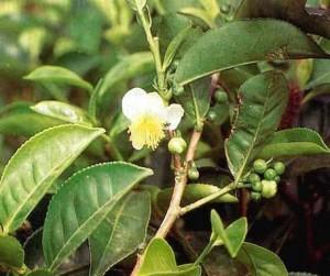 suma-plant-300x251