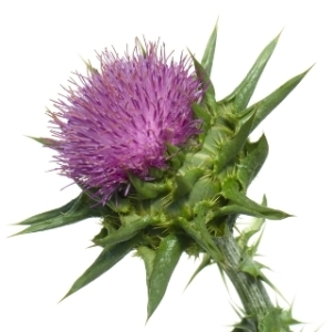 seed_MilkThistle