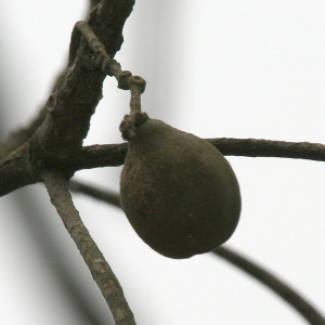 Harra_(Terminalia_chebula)_hanging_fruit_at_23_Mile,_Duars,_WB_W_IMG_5902