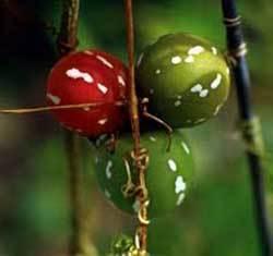 bryonia-laciniosa-seeds-772847-250x250